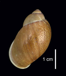 To NMNH Extant Collection (IZ MOL 105045 Shell dorsal view)