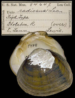 To NMNH Extant Collection (IZ MOL 84647 Unio radiosus Holotype)