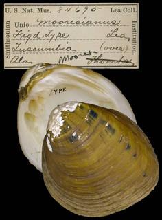 To NMNH Extant Collection (IZ MOL 84695 Unio mooresianus)