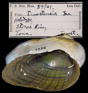 To NMNH Extant Collection (IZ MOL 84701 Unio troostensis)