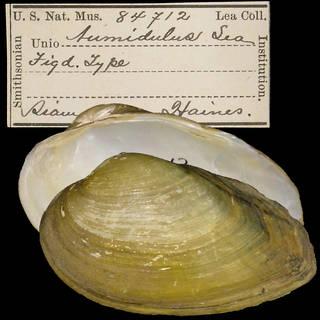 To NMNH Extant Collection (IZ MOL 84712 Unio tumidulus)
