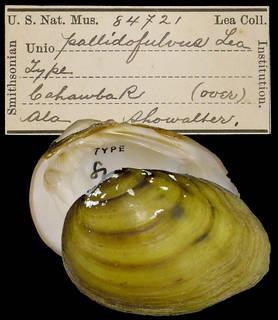 To NMNH Extant Collection (IZ MOL 84721 Unio pallidofulvus)