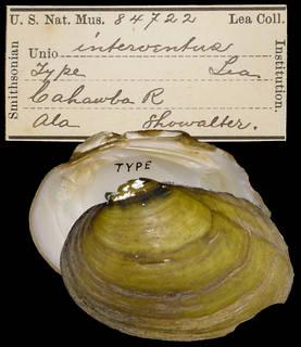 To NMNH Extant Collection (IZ MOL 84722 Unio interventus)