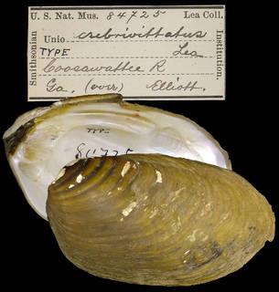 To NMNH Extant Collection (IZ MOL 84725 Unio crebrivittatus)