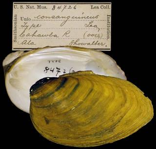 To NMNH Extant Collection (IZ MOL 84726 Unio consanguineus)