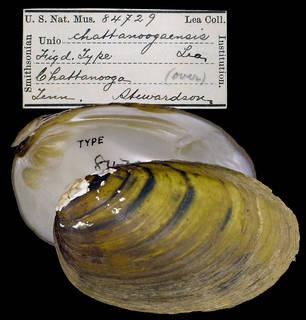 To NMNH Extant Collection (IZ MOL 84729 Unio chattanoogaensis)