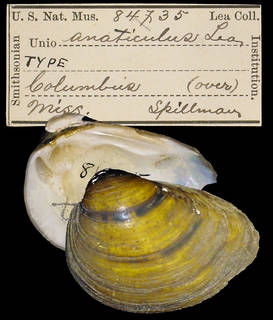 To NMNH Extant Collection (IZ MOL 84735 Unio anaticulus)