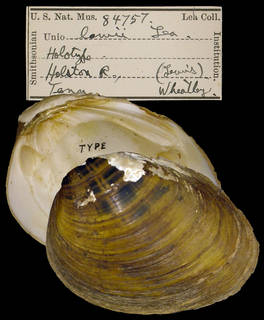 To NMNH Extant Collection (IZ MOL 84757 Unio lawii)