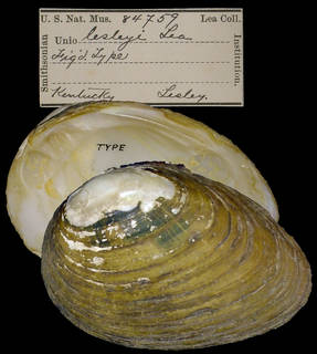 To NMNH Extant Collection (IZ MOL 84759 Unio lesleyi)