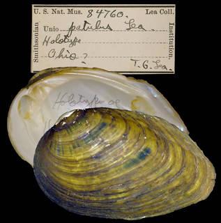 To NMNH Extant Collection (IZ MOL 84760 Unio patulus)