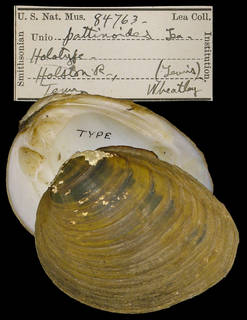 To NMNH Extant Collection (IZ MOL 84763 Unio pattinoides)