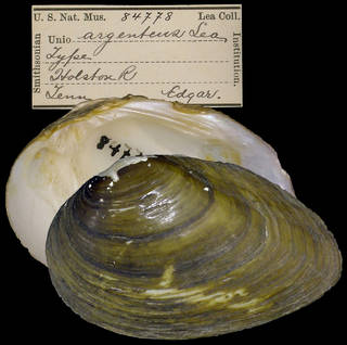To NMNH Extant Collection (IZ MOL 84778 Unio argenteus)