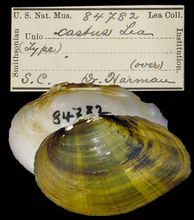 To NMNH Extant Collection (IZ MOL 84782 Unio castus)