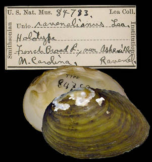 To NMNH Extant Collection (IZ MOL 84783 Unio ravenelianus)