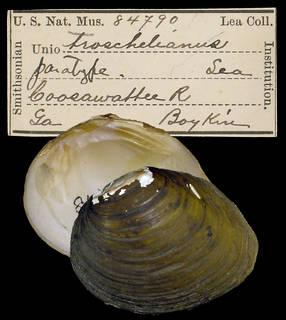 To NMNH Extant Collection (IZ MOL 84790 Unio troschelianus)