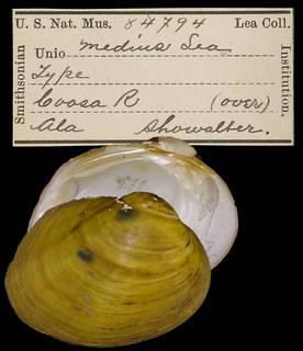 To NMNH Extant Collection (IZ MOL 84794 Unio medius)