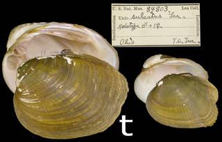 To NMNH Extant Collection (IZ MOL 84803 Unio sulcatus)