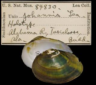 To NMNH Extant Collection (IZ MOL 84830 Unio johannis)
