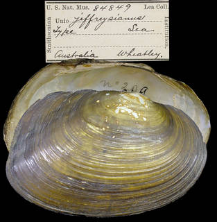 To NMNH Extant Collection (IZ MOL 84849 Unio jeffreysianus)