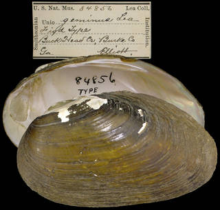 To NMNH Extant Collection (IZ MOL 84856 Unio geminus)