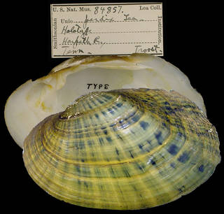 To NMNH Extant Collection (IZ MOL 84857 Unio perdix Lectotype)