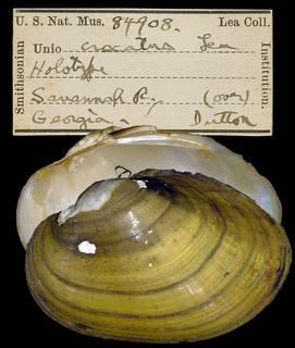 To NMNH Extant Collection (IZ MOL 84908 Unio crocatus)