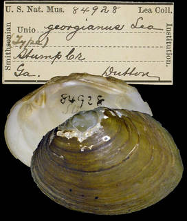 To NMNH Extant Collection (IZ MOL 84928 Unio georgianus)