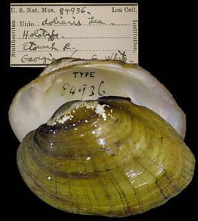To NMNH Extant Collection (IZ MOL 84936 Unio doliaris)