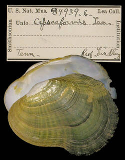 To NMNH Extant Collection (IZ MOL 84939 b Unio capsaeformis)