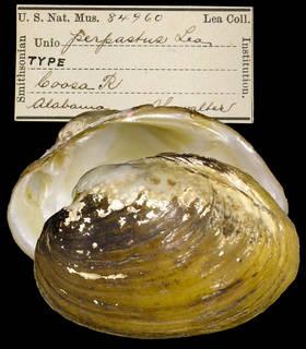To NMNH Extant Collection (IZ MOL 84960 Unio perpastus)