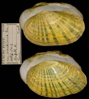 To NMNH Extant Collection (IZ MOL 84965 Unio menkianus)