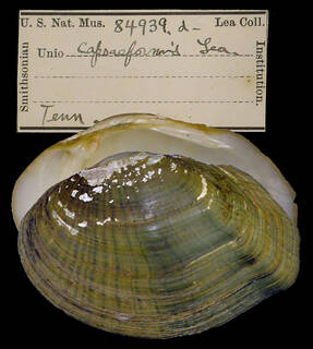 To NMNH Extant Collection (IZ MOL 84939a Unio capsaeformis)