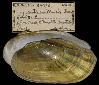 To NMNH Extant Collection (IZ MOL 84976 Unio rutersvillensis)