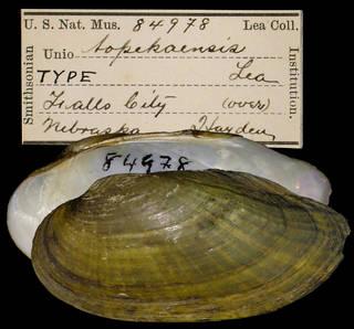 To NMNH Extant Collection (IZ MOL 84978 Unio topekaensis)