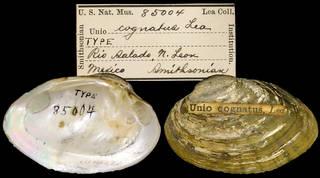 To NMNH Extant Collection (IZ MOL 85004 Unio cognatus)