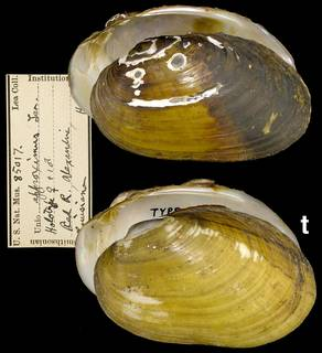 To NMNH Extant Collection (IZ MOL 85017 Unio approximus)