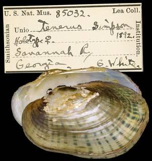 To NMNH Extant Collection (IZ MOL 85032 Unio tenerus)