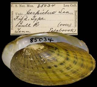 To NMNH Extant Collection (IZ MOL 85034 Unio perpictus)