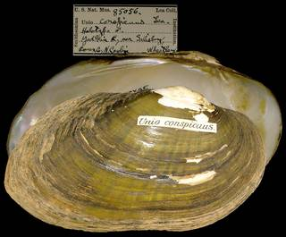 To NMNH Extant Collection (IZ MOL 85056 Unio conspicuus)