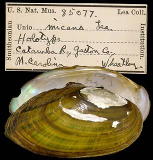 To NMNH Extant Collection (IZ MOL 85077 Unio micans)