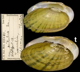 To NMNH Extant Collection (IZ MOL 85084 unio scitulus)