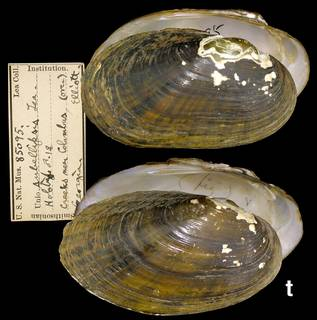 To NMNH Extant Collection (IZ MOL 85095 Unio subellipsis)