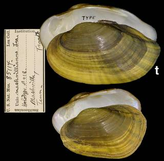 To NMNH Extant Collection (IZ MOL 85114 Unio nashvillianus)
