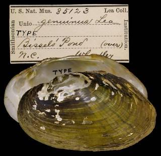 To NMNH Extant Collection (IZ MOL 85123 Unio genuinus)