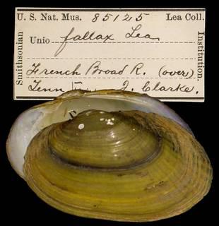To NMNH Extant Collection (IZ MOL 85125 Unio fallax)