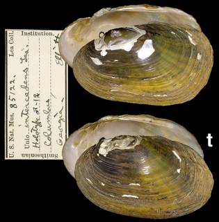 To NMNH Extant Collection (IZ MOL 85122 Unio intercedens)