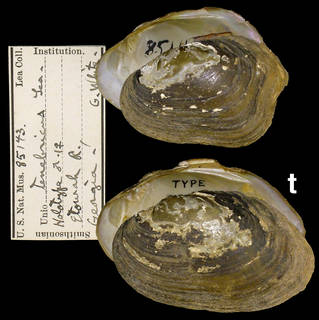 To NMNH Extant Collection (IZ MOL 95143 Unio tenebricus)