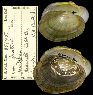 To NMNH Extant Collection (IZ MOL 85145 Unio prattii)