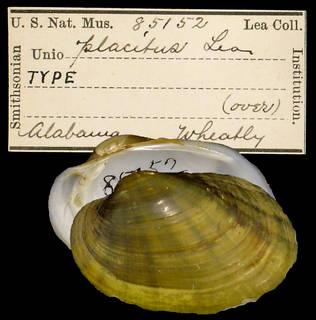 To NMNH Extant Collection (IZ MOL 85152 Unio placitus)