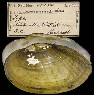 To NMNH Extant Collection (IZ MOL 85154 Unio concavus)